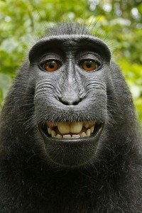 600px Macaca nigra self portrait rotated and cropped